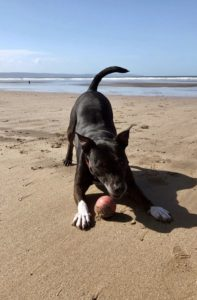 Black dog with white paws on a sandy beach with blue sky